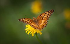 Fritillary Butterfly. July 19, 2014 in Alabama, USA.