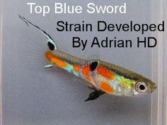 blue top sword endlers