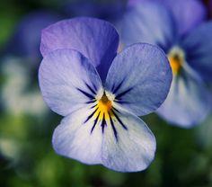 Cómo cuidar la preciosa flor del Pensamiento