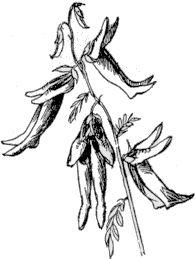 Shoebootia Utilis - edward lear