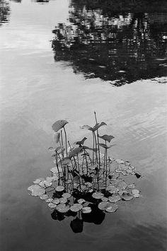 蓮 (The lotuses)
