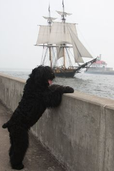 Explore amazing art and photography and share your own visual inspiration! Standard Schnauzer, Giant Schnauzer, Terrier Noir Russe, Black Russian Terrier, Samoyed, Dog Photos, Sailing Ships, Animals And Pets, Amazing Art