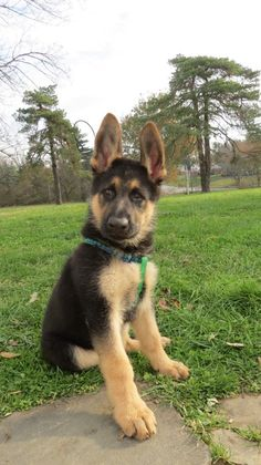 """""""Who are you calling cute? I'm a fierce guard dog! Rottweiler, Pet Dogs, Pets, Doggies, German Shepherd Puppies, German Shepherds, Malinois, Funny Dog Photos, Gsd Puppies"""