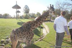 Ginetta, la girafe Masaï du Zoo de Toronto, est décédée