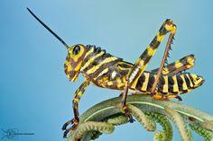 Tiger Grasshopper - Tropidacris sp. by Colin Hutton on 500px