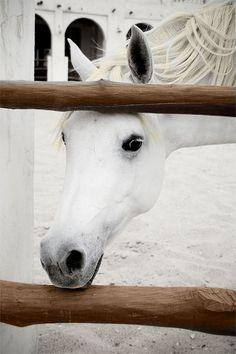 Perfect White Horse (Cavalo Branco Perfeito)