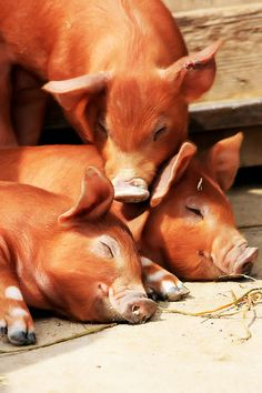 Country in orange with three little pigs. Baby Pigs, Pet Pigs, Farm Animals, Animals And Pets, Cute Animals, Beautiful Creatures, Animals Beautiful, Mini Pigs, Teacup Pigs