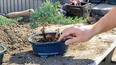 Bonsai Basics : Watering your Bonsai Tree