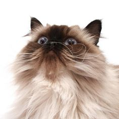 Persian Cat Face Grooming and Cleaning Tips: Care for your cats eyes and fur with these helpful hints for grooming and cleaning Persians faces. | Cat Fancy