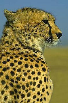 12 Best Cheetahs Images Big Cats Gatos Wild Animals