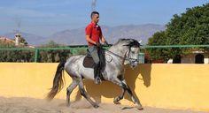 PRE Pure Race Espagnole A vendre 2008 Gris par FURIA LXX Nom du cheval : FURIA CXXXIV Race : PRE Pure Race Espagnole Robe : Gris Sexe : Etalon