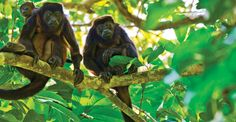 Golden-mantled howler monkey, Barro Colorado Island, Panama | The Panama Canal & The Wonders of Costa Rica | Natural Habitat Adventures