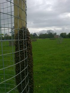 A swarm of honeybees found in Goslings Croft orchard in the park at Hanbury Hall. The team were able to introduce the colony into a hive. Facebook 11 May