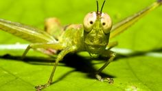 Google Image Result for http://resources2.news.com.au/images/2011/10/01/1226154/615442-grasshopper.jpg