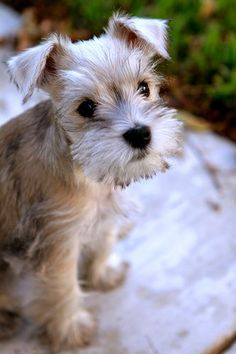 Ranked as one of the most popular dog breeds in the world, the Miniature Schnauzer is a cute little square faced furry coat. It is among the top twenty favorite Cute Puppies, Cute Dogs, Dogs And Puppies, Doggies, Funny Dogs, Cute Baby Animals, Funny Animals, Wild Animals, Hypoallergenic Dog Breed