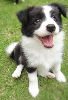 I realllllllllllly want a border collie. Have 3 border collie/blue heeler cross! Border Collie Puppies, Collie Dog, Collie Breeds, Border Collies For Sale, Baby Animals, Funny Animals, Cute Animals, Cute Puppies, Dogs And Puppies