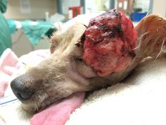 Shelter Vet Removes Large Mass, Dog's Vision Saved