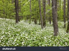 Spring garlic flowers. Carpet of white and green