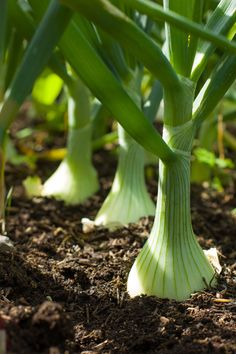 The Best Onion Cultivars to Grow at Home Growing Vegetables In Containers, Container Gardening Vegetables, Herb Garden, Home And Garden, Growing Onions, Small Vegetable Gardens, Vegetable Gardening, Greenhouse Gardening, Organic Fertilizer