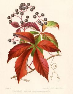 Virginia Creeper Botanical Print Download
