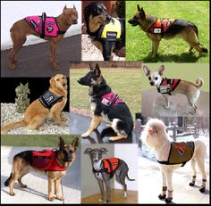 Service dogs come in all shapes & sizes. Even the smallest dog can detect medical issues before they arise.