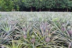 Ananas jeunes dans le champ en face du champ d'h�v�a