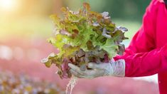 How Urban Farming With Hydroponics Can Help Feed the World While Saving Water Agriculture Projects, Agriculture Industry, Urban Agriculture, Urban Farming, Red Oak Leaf, Agricultural Development, Head Of Lettuce, Sustainable Farming, Hydroponics System