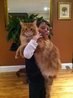 One big Maine Coon from the SemperCoons
