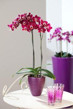 A purple phalaenopsis display #orchid