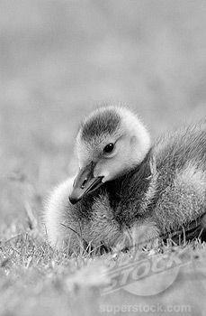 Duckling  B & W photos of baby animals in Nursery