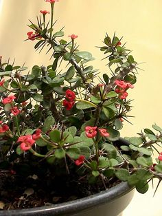 Euphorbia milii. Euphorbia Milii, Funeral, Gardening, Image, Succulents, Flowers, Lawn And Garden, Crown Of Thorns Plant, Urban Homesteading