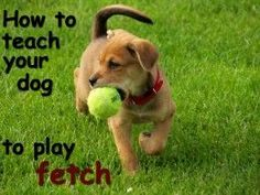 A How to guide about teaching your dog to play fetch