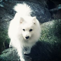 The Japanese Spitz can be a extremely healthful canine with handful of genetic concerns.