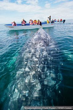 A grey whale near a tourist boat, Baja, California.  Photo by Todd Pusser for WWF