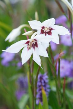 Buy Abyssinian gladiolus (syn acidanthera or callianthus) bulbs Gladiolus murielae: Delivery by Crocus.co.uk