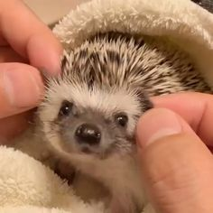 Cute animal pictures: 150 of the cutest animals! Cute Little Animals, Cute Funny Animals, Cute Cats, Funny Dogs, Funny Ferrets, Happy Animals, Hedgehog Pet, Cute Hedgehog, Cute Animal Videos