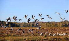 NAM NEWS NETWORK - MIGRATORY BIRDS ARRIVE GUIZHOU, CHINA TO GET THROUGH WINTER