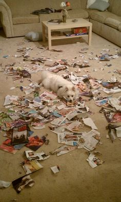 """""""Oh good you're home...someone shredded your magazines..""""  Mini American Eskimo"""