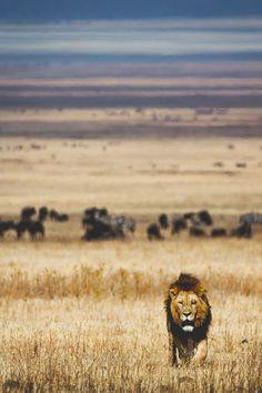 lion king - africa - sahara kalahari