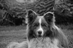 Beautiful face!! -Border Collie-