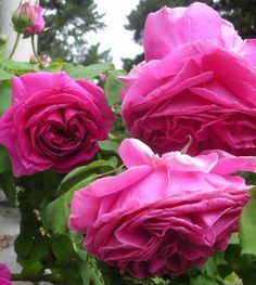 The most fragrant Bourbon rose Mme. Isaac Pereire