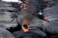 Een gentoo-pinguïn gluurt onder het water voordat hij een duik neemt in Port Lockroy. [Photo of the day - augustus 2011]