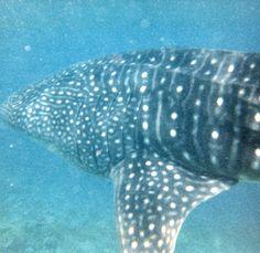 Whale Shark comparing ocean animal sizes