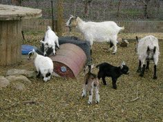 i want a herd of hilarious pygmy goats