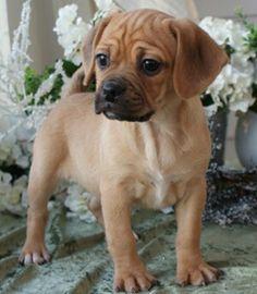 Puggle (Pug + Beagle)