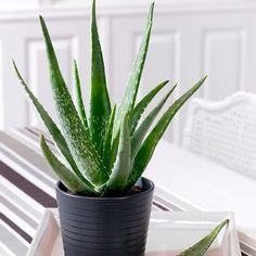How to Care for Your Aloe Vera Plant. Aloe vera plants are native to tropical regions, but they're common household plants in a variety of climates. Caring for an aloe vera plant is simple once you know the basics. Succulents Garden, Garden Plants, Planting Flowers, Garden Web, Balcony Garden, Edible Succulents, Conservatory Garden, Succulent Soil, Gardening Vegetables