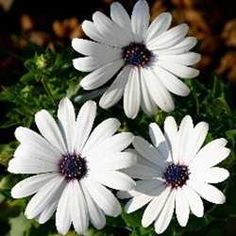 Osteospermums, aka African Daisy; annual without frost, perennial in cold weather.