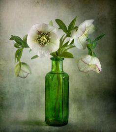 More Hellebore   Explore Mandy Disher's photos on Flickr. Ma…   Flickr - Photo Sharing!