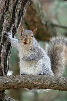 Sincap / Squirrel Animals And Pets, Baby Animals, Funny Animals, Cute Animals, Wild Animals, Talking Animals, Pretty Animals, Animal Jokes, Squirrel Pictures