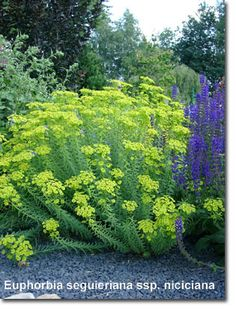walzen wolfsmilch pflanze euphorbia myrsinites staude walzenwolfsmilch pflege schnitt euphorbia. Black Bedroom Furniture Sets. Home Design Ideas